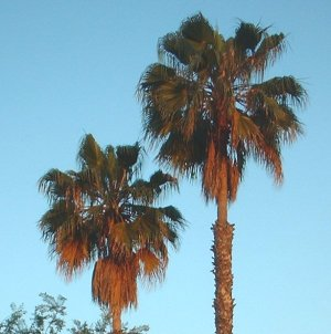 Palms in June, Golden Hour