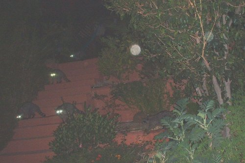 Five Raccoons visiting our house